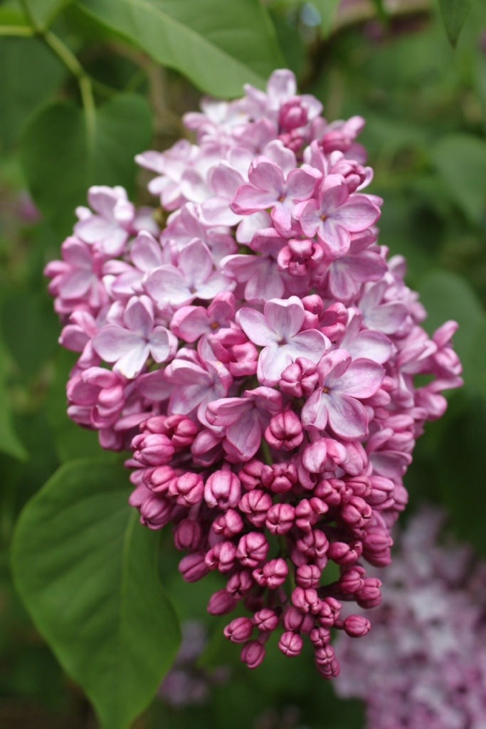 Friday I'm in Love: Lilacs (again)