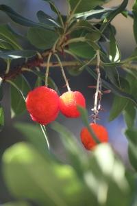 Strawberry Tree | bellesidees.wordpress.com