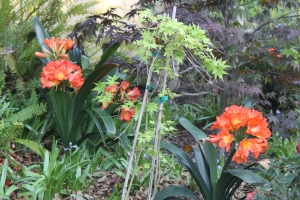 "Clivias in the ""woodland garden"""