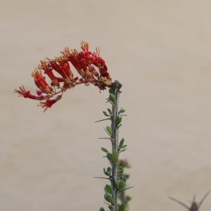 ocotillo flower