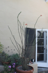 ocotillo in courtyard