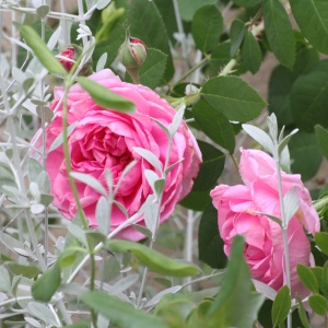 Gertrude Jekyll rose with deer sage